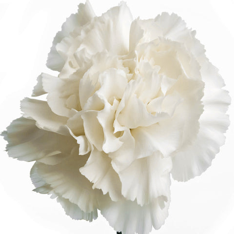 Carnations White - BloomsyShop.com