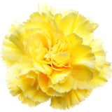 Carnations Yellow - BloomsyShop.com