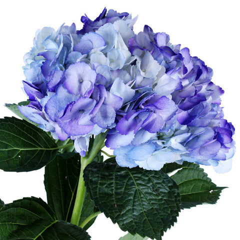 Hydrangea Airbrushed Celeste Purple - BloomsyShop.com
