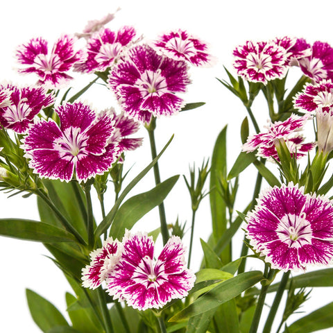 Dianthus Hot Pink - BloomsyShop.com