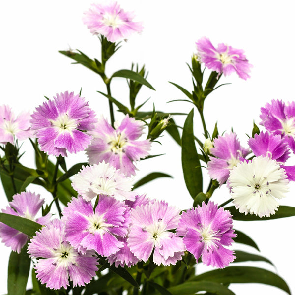 Dianthus Light Pink - BloomsyShop.com