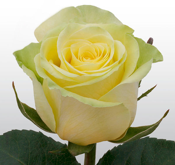 Roses Yellow Gelosia - BloomsyShop.com