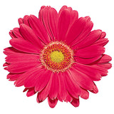 Hot Pink Gerbera Daisy - BloomsyShop.com