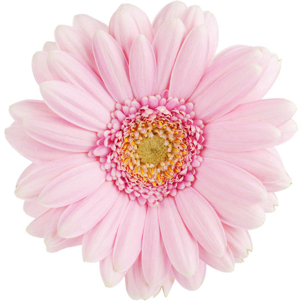 Light Pink Gerbera Daisy - BloomsyShop.com