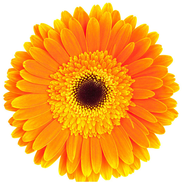 Orange Gerbera Daisy - BloomsyShop.com