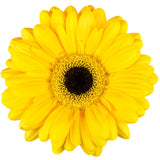 Yellow Gerbera Daisy - BloomsyShop.com
