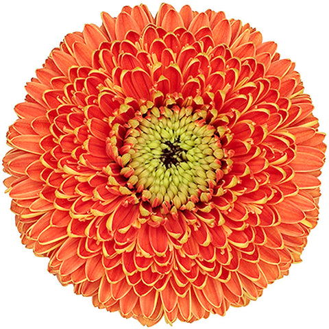 Gerrondos Orange - BloomsyShop.com