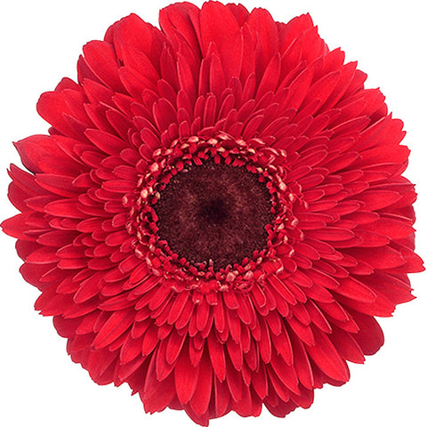 Gerrondos Red - BloomsyShop.com