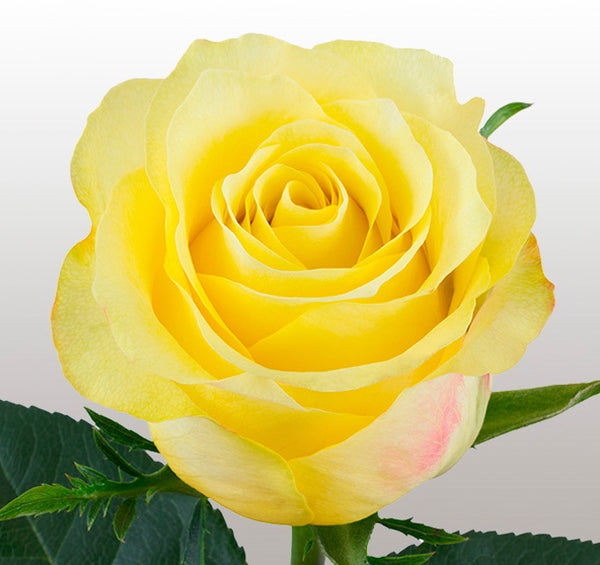 Roses Yellow Golden Tower - BloomsyShop.com