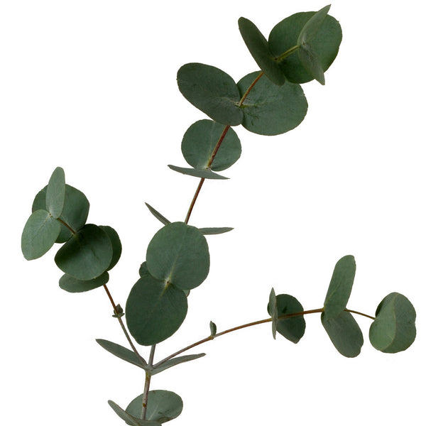 Green Eucalyptus Baby Blue - BloomsyShop.com
