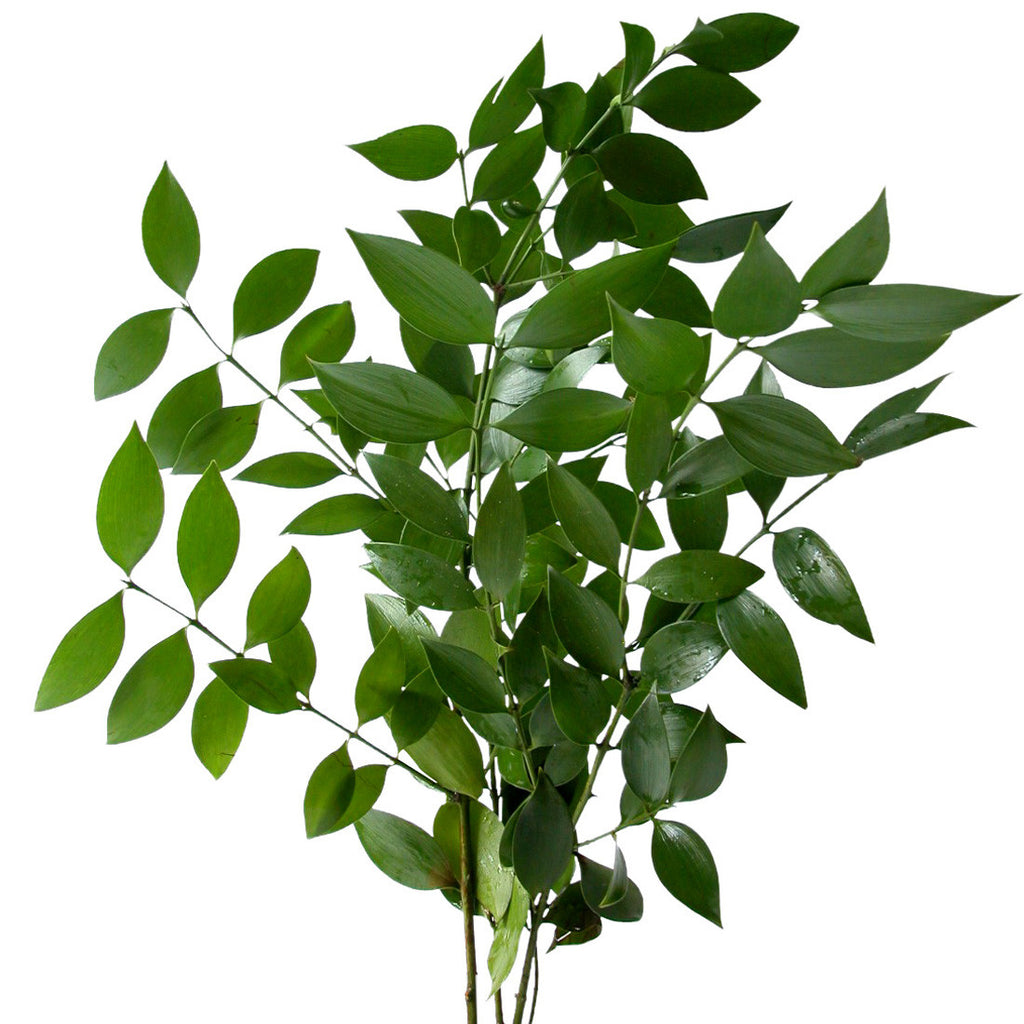 Green Israeli Ruscus In Bulk