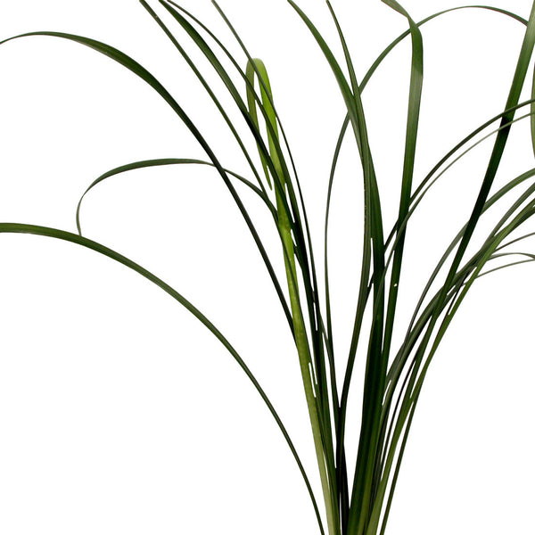 Green Lily Grass - BloomsyShop.com