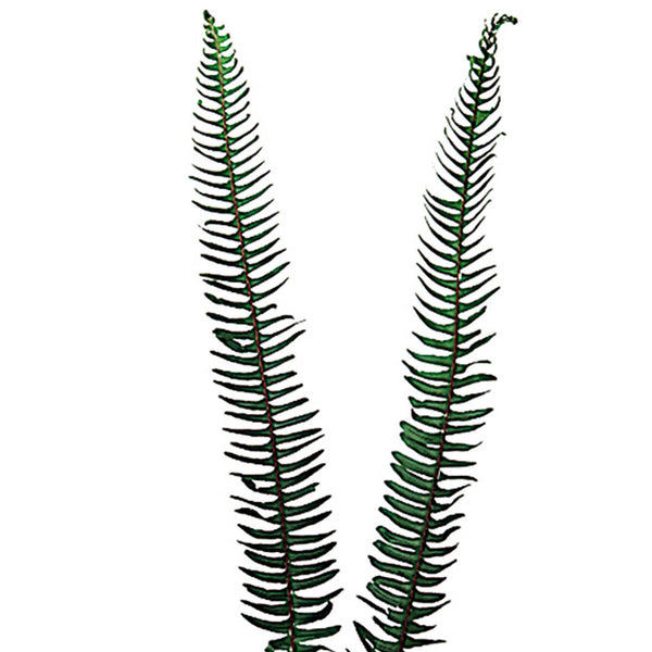 Green Sword Fern - BloomsyShop.com