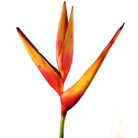 Tropical Heliconia Psittacorum - BloomsyShop.com
