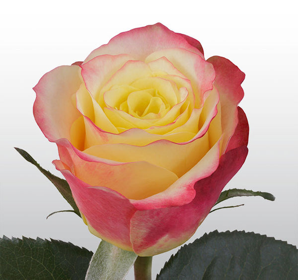 Roses Bicolor Yellow Hot Merengue - BloomsyShop.com