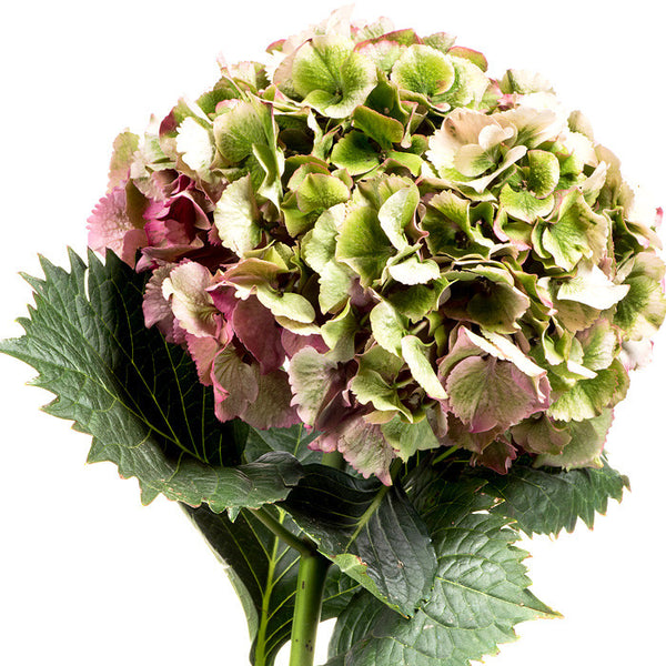 Hydrangeas Antique Green - BloomsyShop.com