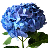 Hydrangeas Blue - BloomsyShop.com