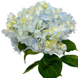 Hydrangeas Lavender Select - BloomsyShop.com