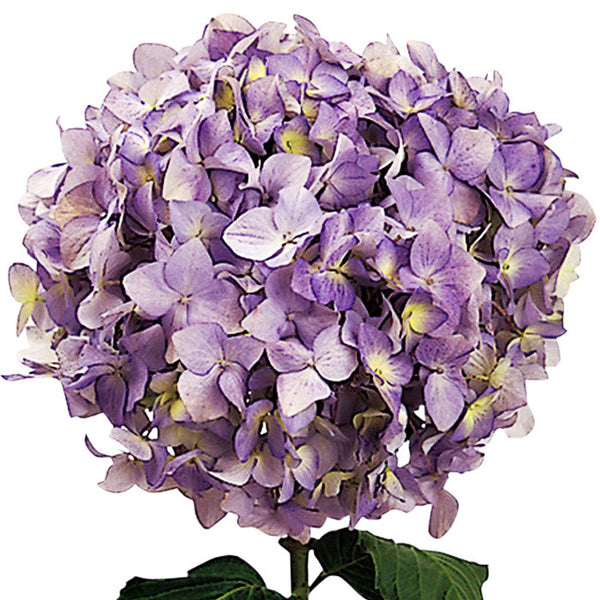Hydrangeas Light Blue - BloomsyShop.com