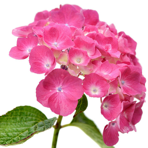 Hydrangeas Pink Select - BloomsyShop.com
