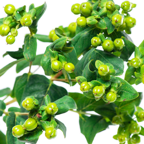 Hypericum Green - BloomsyShop.com