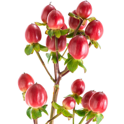 Hypericum Red - BloomsyShop.com