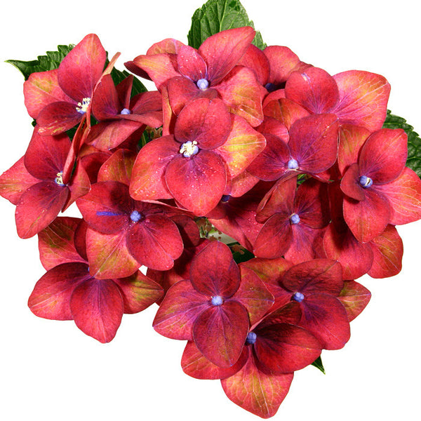 Hydrangeas Red Antique - BloomsyShop.com