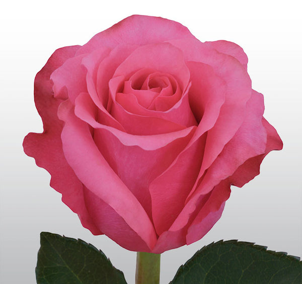 Roses Hot Pink Janeiro - BloomsyShop.com