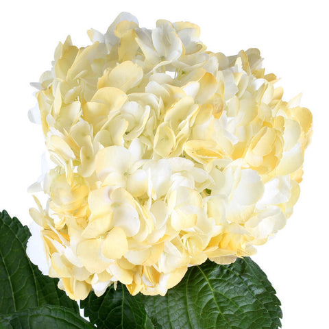 Hydrangea Airbrushed Light Yellow - BloomsyShop.com