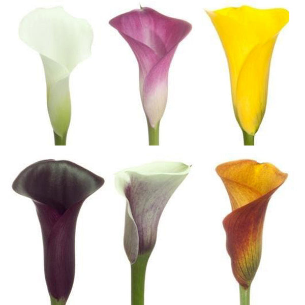 Mini Calla Assorted - BloomsyShop.com