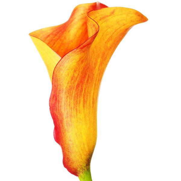 Mini Calla Orange - BloomsyShop.com