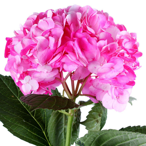 Hydrangea Airbrushed Nevada Hot Pink - BloomsyShop.com