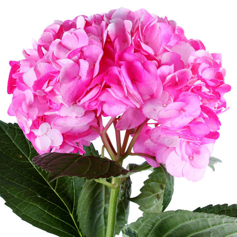 Hydrangea Airbrushed Hot Pink - BloomsyShop.com