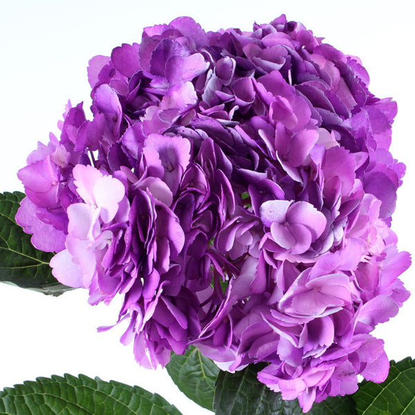 Hydrangea Airbrushed Nevada Lilac - BloomsyShop.com
