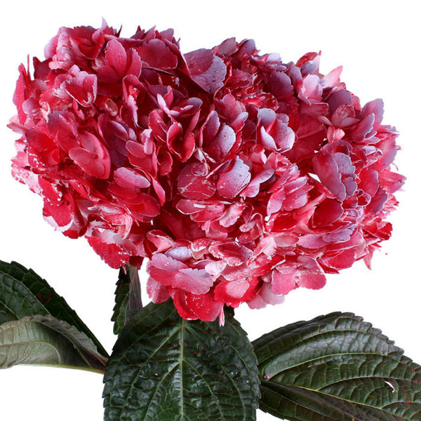 Hydrangea Airbrushed Red - BloomsyShop.com