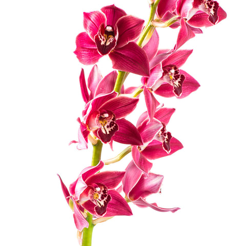 Cymbidium Orchids Hot Pink - BloomsyShop.com