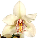 Cymbidium Orchid White - BloomsyShop.com