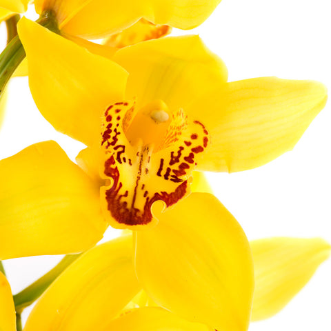 Cymbidium Orchids Yellow - BloomsyShop.com