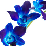 Dendrobium Orchids Blue - BloomsyShop.com