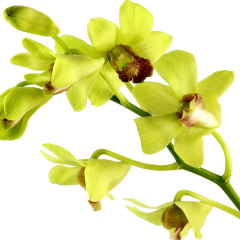 Dendrobium Orchids Green - BloomsyShop.com
