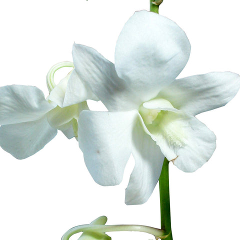 Dendrobium Orchids White - BloomsyShop.com