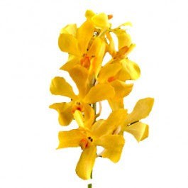 Orchids Aranda Nora Yellow - BloomsyShop.com