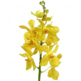 Orchids Mokara Yellow - BloomsyShop.com