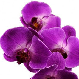 Orchids Phalaenopsis Purple - BloomsyShop.com