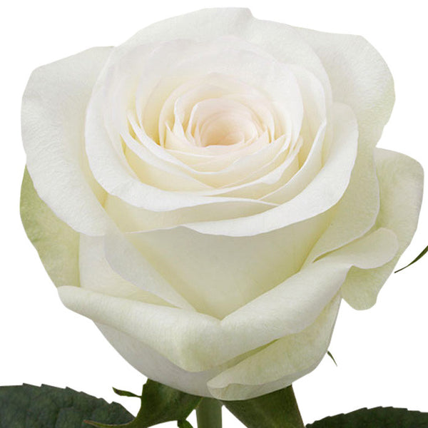 Roses White Alba - BloomsyShop.com