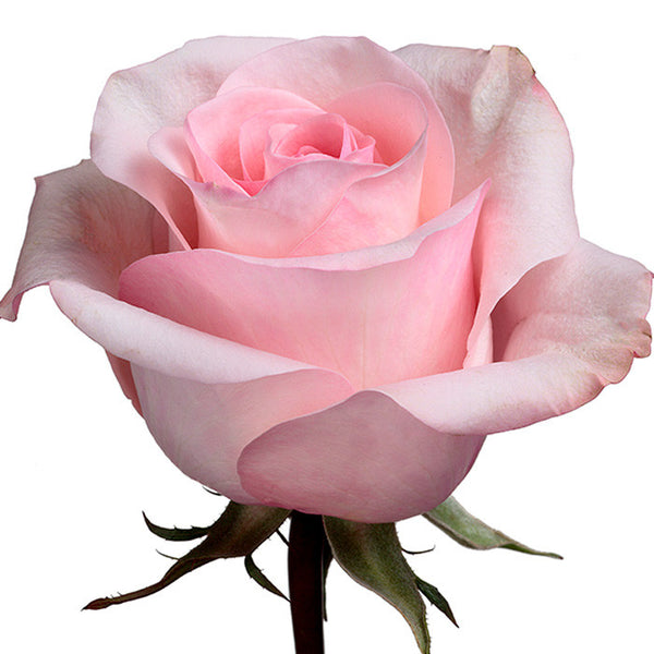Roses Light Pink Arleen - BloomsyShop.com