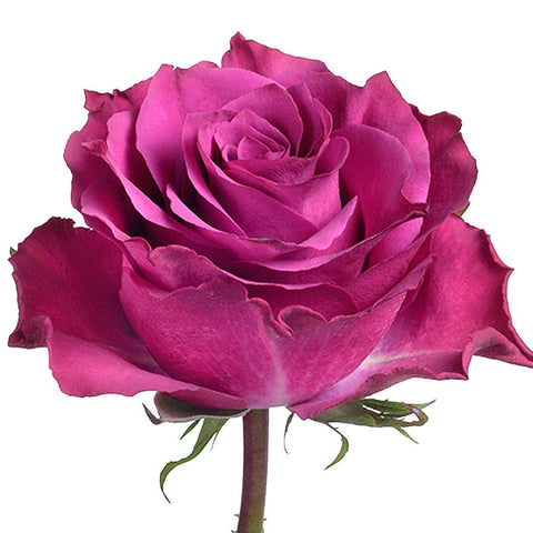 Roses Purple Ascot - BloomsyShop.com