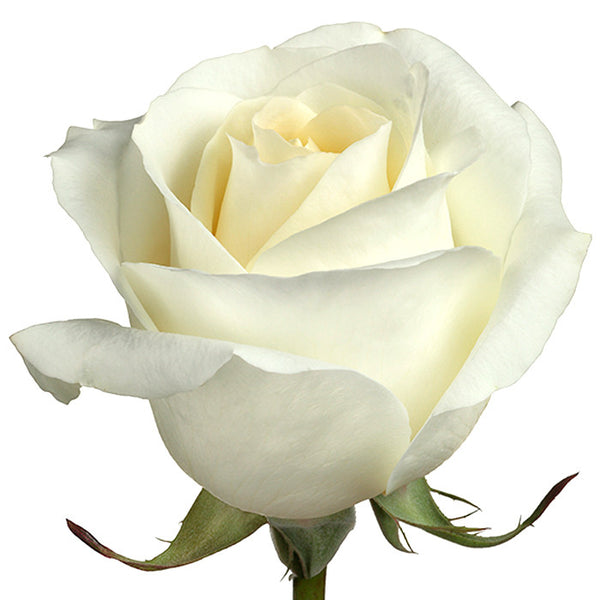 Roses White Blizzard - BloomsyShop.com