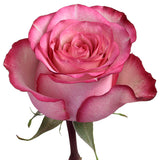 Roses Bicolor Pink Carrousel - BloomsyShop.com