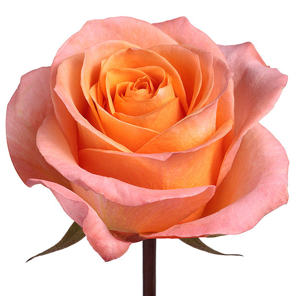 Roses Peach Coral Reef - BloomsyShop.com